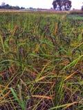 Черное поле риса сжато в сезоне осени в Таиланде стоковые изображения rf