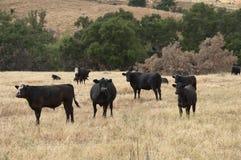Черное Baldy и черные скотины Ангуса в поле Стоковое Фото