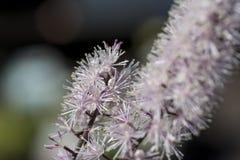 Черное cohosh, красота завода cimicifuga естественная Стоковая Фотография