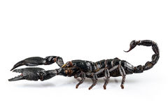 Черное cyaneus Heterometrus вида scorpio Стоковая Фотография RF