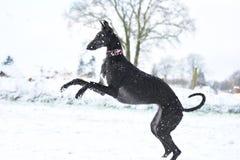 Черное espanol Galgo играя во время зимы Стоковая Фотография