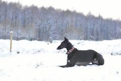 Черное espanol Galgo лежа в снеге Стоковые Фотографии RF