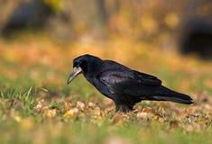 черное frugileus вороны corvux Стоковые Фото