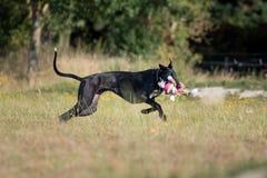 Черное Galgo Espanol играет с игрушкой плюша Стоковое Фото
