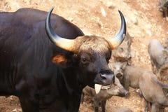 Черное gaur Стоковые Изображения RF