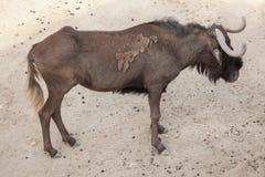 Черное gnou Connochaetes антилопы гну Стоковое Фото