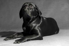 черное labador чисто Стоковое Фото