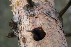 Черное martius Dryocopus woodpecker прерывая полость в сосне для птицы гнезда европейской большой показывает поведение размножени Стоковое фото RF