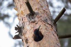 Черное martius Dryocopus woodpecker прерывая полость в сосне для птицы гнезда европейской большой показывает поведение размножени Стоковые Изображения