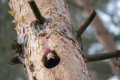 Черное martius Dryocopus woodpecker прерывая полость в shavings сосны и ходов Европейская большая птица показывает behav размноже Стоковое фото RF