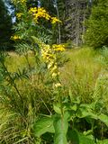 Черное mullein, цветок nigrum Verbascum Стоковое Фото