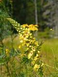 Черное mullein, цветок nigrum Verbascum Стоковые Фото