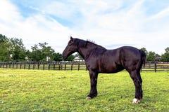 Черное Percheron gelding стоковая фотография rf