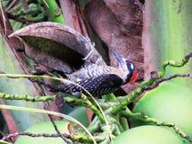 Черное pucherani Carinegro-Melanerpes woodpecker-Carpintero Cheeked Стоковое фото RF