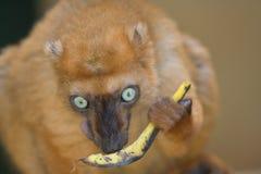 черное sclater lemur s Стоковое фото RF