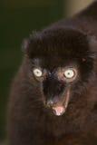 черное sclater lemur s Стоковая Фотография