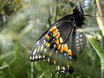 черное swallowtail бабочки Стоковая Фотография