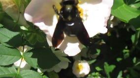 Черное violacea шмеля или xylocopa сток-видео