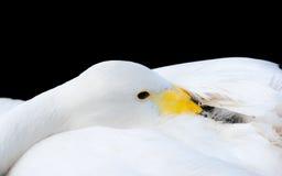 черной whooper лебедя крупного плана изолированный головкой стоковое изображение