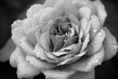 Чернота & белая роза Стоковое Изображение RF