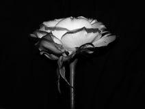 Чернота & белая роза 002 Стоковое Изображение