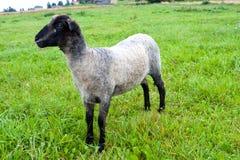 Чернота возглавила овец стоковые изображения