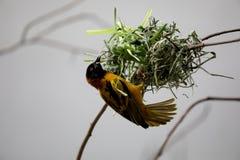 Чернота возглавила птицу ткача textor стоковые фотографии rf