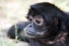 чернота возглавила спайдер обезьяны Стоковые Изображения RF