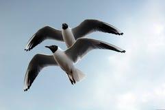 Чернота возглавила чайку Стоковое Изображение RF