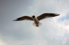 Чернота возглавила чайку Стоковая Фотография