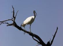 чернота возглавила ibis Стоковое Фото
