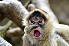 чернота вручила спайдер обезьяны Стоковая Фотография RF