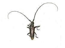 чернота жука антенн длиной Стоковая Фотография RF