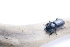 чернота жука Стоковое Изображение RF