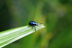 чернота жука Стоковое Фото