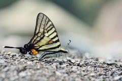 Чернота замкнутая как бабочка шпаг в воде Стоковые Фото