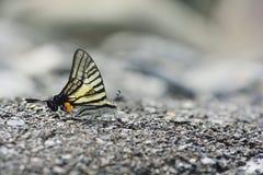 Чернота замкнутая как бабочка шпаг в воде Стоковое Фото
