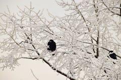 Чернота зимы кавказская rooks сидеть среди снежных ветвей  стоковое изображение