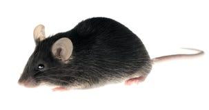 чернота изолировала мышь лаборатории Стоковая Фотография