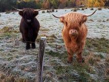 Чернота и имбирь коровы скотин гористой местности в Шотландии стоковые фотографии rf