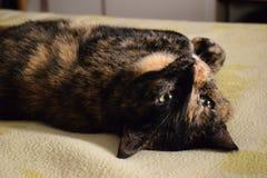Чернота и коричневый цвет кота Стоковые Фотографии RF