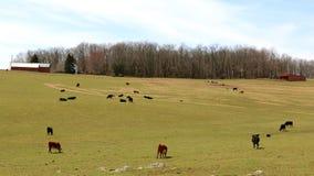 Чернота и коровы Брайна пасут на горном склоне Стоковые Фото