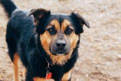 Чернота и портрет собаки золота Стоковые Изображения