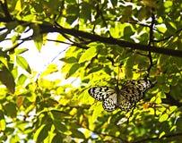 Чернота и прозрачная белая бабочка Стоковое Изображение RF