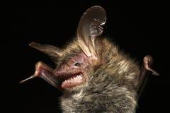 чернота летучей мыши Стоковые Фото