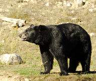 чернота медведя Стоковое Изображение