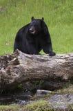 чернота медведя Стоковая Фотография