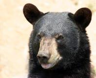 чернота медведя Стоковые Изображения