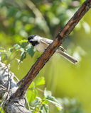 чернота покрыла chickadee Стоковые Изображения RF