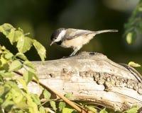 чернота покрыла chickadee Стоковые Фото